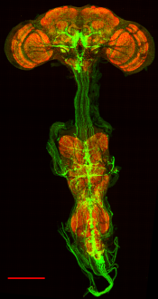 Confocal image of a Drosophila brain and ventral nerve cord showing the GFP-labeled octopamine neurons (green), which we genetically silenced with Kir2.1. Red labels neuropil. Image taken by my colleague Marie Suver.