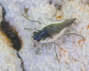 Alkali fly (Ephydra hians) underwater at Mono Lake, CA.