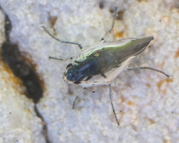 Alkali fly, safely underwater in Mono Lake, CA, in a protective air bubble.